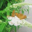 くじゅう花公園の蝶☆