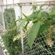野の花・野草(12) ヨウシュヤマゴボウ
