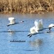 白鳥走る 4