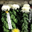 菊花展      妻木公民館    2017.11.05
