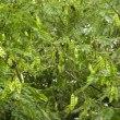 ネムノキの枝に実がたくさん