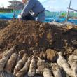 ボランテァの力で長芋掘り終了