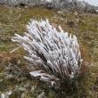 フクジュソウも樹氷も、霊仙山