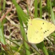 高ボッチ高原・鉢伏山で最近見る事の出来る昆虫 モンキチョウ(紋黄蝶)