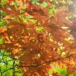 新緑の時期に赤いモミジ