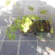 パセリをプランターに植えました