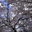 長明寺のしだれ桜が咲いた! 2018年