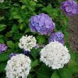 アジサイ(紫陽花):紫陽花の藍をつくして了りけり