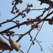 原種のマンサク