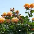 『満開の薔薇』
