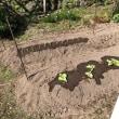 ネギとチシャの苗を植えました
