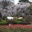 沼田公園の桜2019