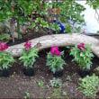 キンギョソウを植える(1)