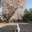 今年の桜      おもいで