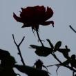 薔薇の樹に薔薇の花咲く