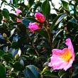 『町の花』 サザンカ