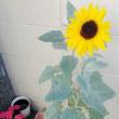向日葵が咲きました(*^_^*)