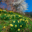 桜並木と水仙
