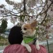 トリミング   桜