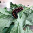 ツマグロヒョウモン(褄黒豹紋)タテハチョウ科