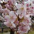 駿府城公園の早咲きのサクラが満開