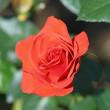 神代植物公園で咲くいろいろな「秋バラ」(その4) !!