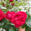 我が家の庭の花たち