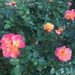 秋晴れの中靭公園のバラが美しい!