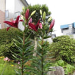 庭に美しい「ゆり」が咲きはじめました・・・いわき