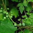 コウモリカズラ 緑白色の果実