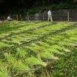 奥の谷稲刈り