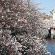 大岡川の桜 2018