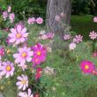 凛と咲くコスモスの花
