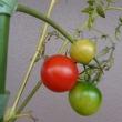 トマト その後のその後