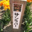 桜からのチューリップ