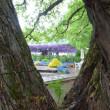 カッコウソウとアカメヤナギの木