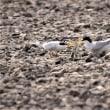 今日の野鳥  コアジサシ