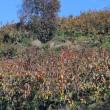 ぶらり富有柿と里山