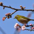 3/15桜開花情報も間もなく・・・
