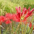 今日(9月23日)の誕生日の花、彼岸花