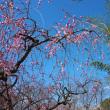 後楽園の枝垂れ梅