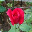 真夏、真っ赤なパパメイアンが咲いて