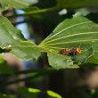 ツマグロオオヨコバイ/ケヒラタアブ/ハラナガツチバチ/クロスズメバチ/オオスズメバチ