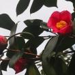 春のキルト  ( 椿  )