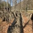 原木シイタケを収穫する。