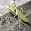 緑色のコカマキリ