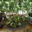 ミニ・盆栽が一杯。あかりちゃんとトツメレンゲちゃんです