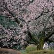 新宿御苑の寒桜・・1