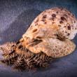 50cmの巨大巻き貝は、グレートバリアリーフを救えるか!?