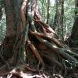 屋久島の杉